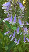 Native Plant, Hairy Pemstemon, Penstemon hirsutus - $3.50