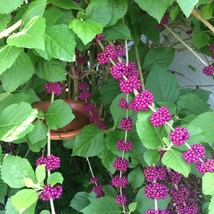 French Mulberry American Beautyberry Flower 1 Plant in 1 Gallon Pot - $53.49