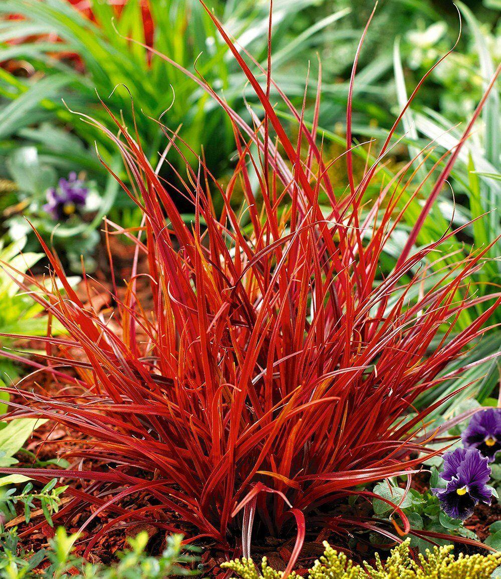 Red SEDGE GRASS Firedance, Uncinia rubra evergreen 20 seeds