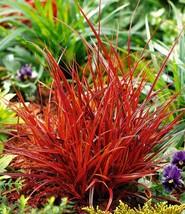Red SEDGE GRASS Firedance, Uncinia rubra evergreen 20 seeds - $19.99