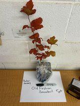 """Old Fashion Snowball Viburnum 4""""pot Viburnum opulus roseum image 3"""