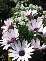 50 Pcs White African Cape Daisy Seeds #MNSB - $14.99
