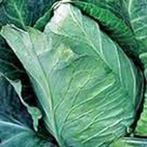 Cabbage Seed, Early Jersey Wakefield, Heirloom, Non GMO, 50 Seeds, Tasty Healthy - $4.49