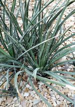 25 Seeds - Red Yucca Hesperaloe Parviflora Hummingbird #SFB15 - $17.99