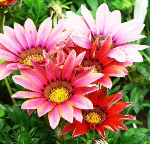 200 German Fragrant Chamomile Seeds  Fragrant Plant Garden Flower Seed S067
