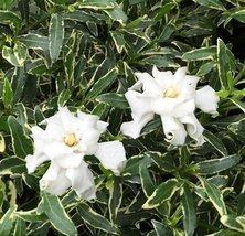 "1 Starter Plant of Variegated Creeping Radicans Gardenia - JR Gallon 6"" Pot - $85.08"