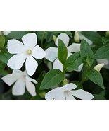 50 seeds Vinca minor 'Alba' - White Periwinkle - $6.93