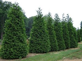 "10 Green Giant Arborvitae, 1-gal plant 18-24"" tall - $199.99"