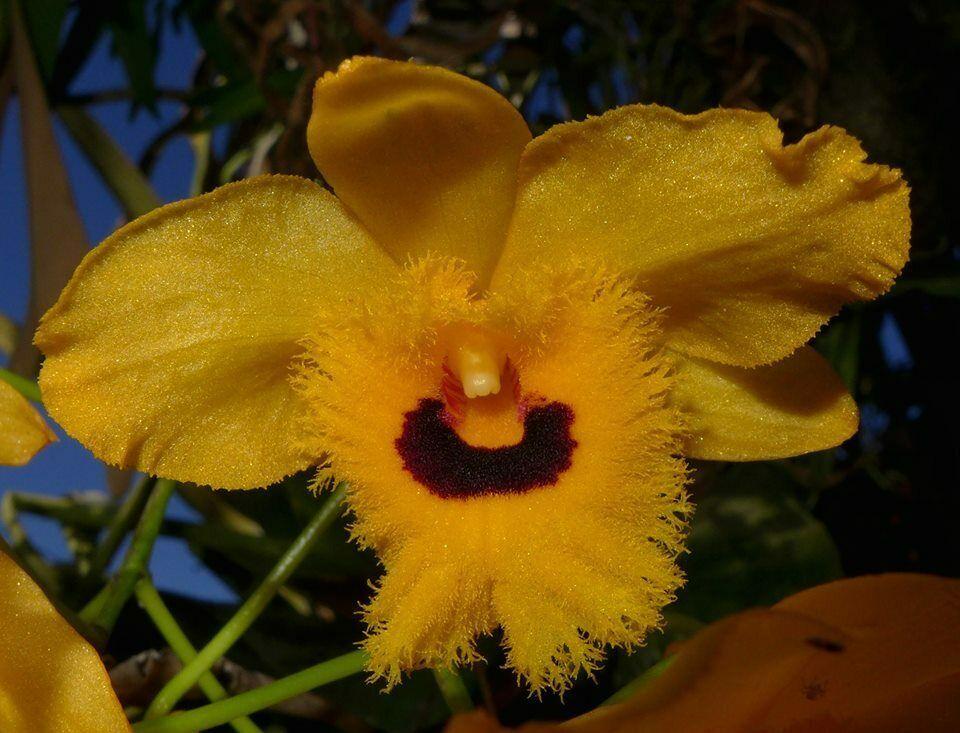 Dendrobium fimbriatum Rare Species Orchid Plant Blooming Size ::()