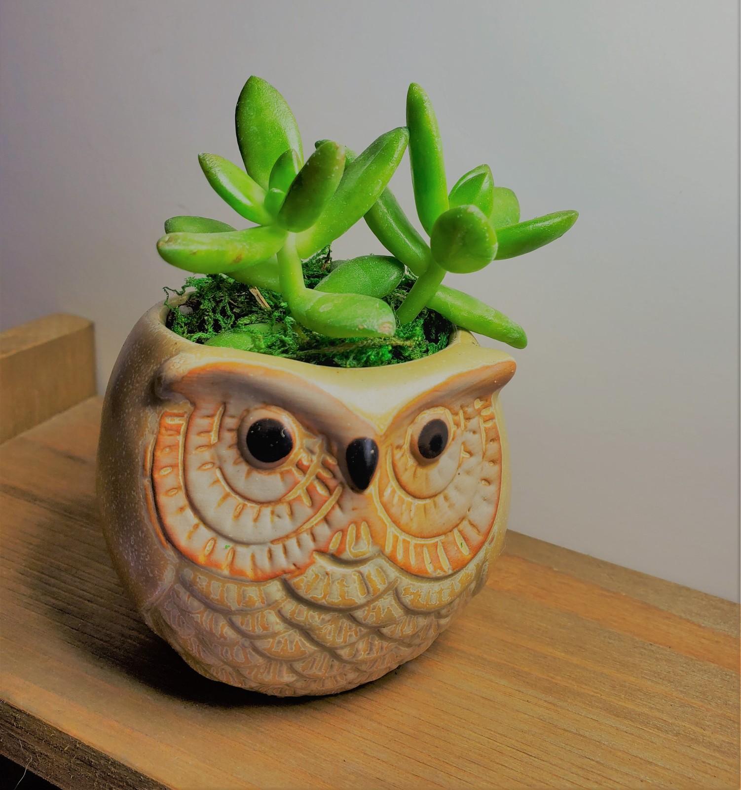 Owl sedum 1