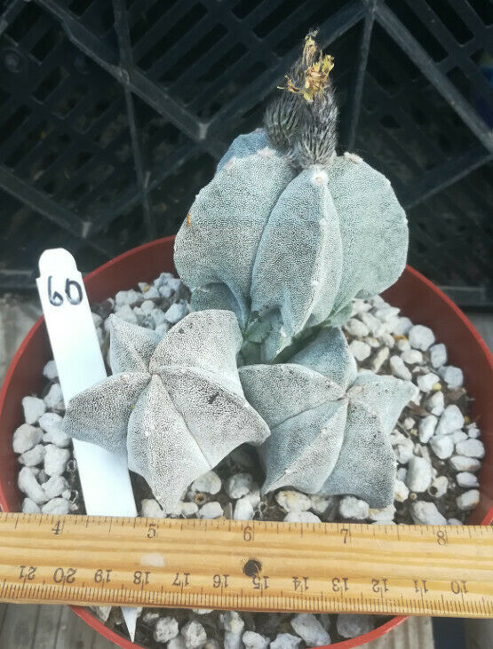 Astrophytum myriostigma 'Bishop Hat' Cactus Group 3