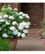 Starter Plant - Hydrangea Macrophylla - $22.98