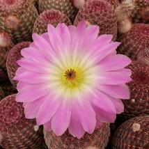 Live Plant Echinocereus pectinatus rubispinus Cactus Cacti Succulent Real  - $48.69
