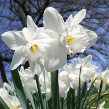 5 Large Bulbs White Daffodil Mount Hood Narcissus Mt Hood Giant Trumpet Narcissi - $8.99