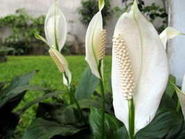"8""Pot Peace Lily Plant Live Indroo Spathyphyllium Blooms Flowers Home Ho... - $104.00"