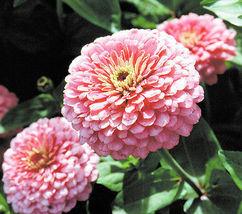 75 Pcs Pink Zinnia Seeds, Luminosa, Heirloom Zinnia Seeds, Heirloom Flower - $13.99