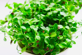 50pcs Cedrela Sinensis Seeds Sprouting Vegetables Seed Very Delicious IMA1 - $13.99
