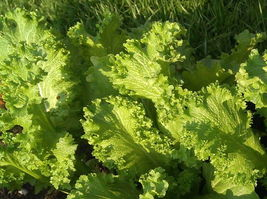2000 Southern Giant Curled Mustard Greens Seeds Heirloom Gardening NON-GMO  - $1.79