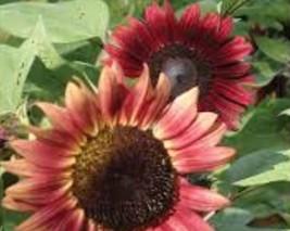 BEST PRICE 20 Seed Cherry Rose Red Ornamental Sunflower,DIY Flower Seed E3376 DG - $5.42