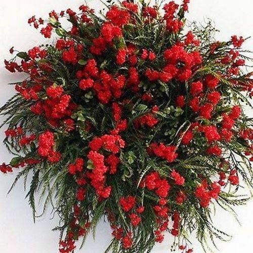 Primary image for SHIP FROM USA Babys Breath Red Flower Seeds (Gypsophila Elegans Crimson) 400+See