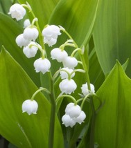 4 Roots Convallaria majalis, Lily of the valley Flower Bell Shaped Peren... - $12.49