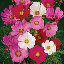 Cosmos Seeds - Sensation Mixture- Flower Seeds - Starts Nursery - Outdoor Living - $25.50+