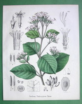 QUININE TREE  Medicinal Cinchona Chahuarguera - 1860 Color Botanical Print - $25.20