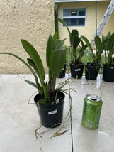 Rhyncattleanthe Blc Chonburi Red CATTLEYA Orchid Plant Pot BS 0509 J image 2