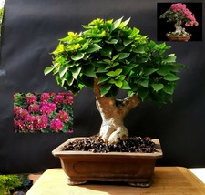 Bougainvillea SUNVILLEA ROSE  Bonsai - Approximately 25 years old plant  - $436.80
