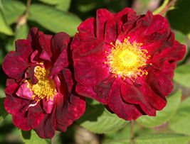 30 Red Rugosa Rose Rosa rugosa rubra Shrub Seeds (Fast, Hardy, Fragrant, Edible) - $10.99
