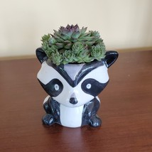 Raccoon Planter with Succulent, Live Plant Gift, Hens and Chicks, Sempervivum image 2