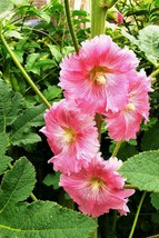 50 Pink White Hollyhock Seeds Perennial Giant Flower Seed Flower - TTS - $29.95