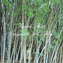20 Seeds of Dendrocalamus strictus Exotic Calcutta Clump Type Bamboo - $17.82