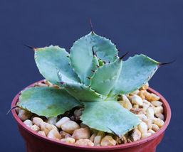 "SHIP From US, 4"" pot Agave potatorum, succulent plant cacti cactus EC - $45.99"