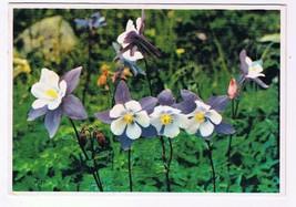 Colorado Postcard Columbines Colorado State Flower - $2.26