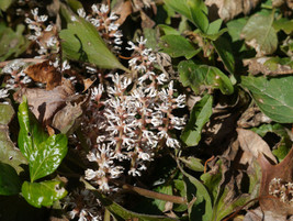 ALLEGHENY  SPURGE 5 roots ,(Pachysandra procumbens) image 1