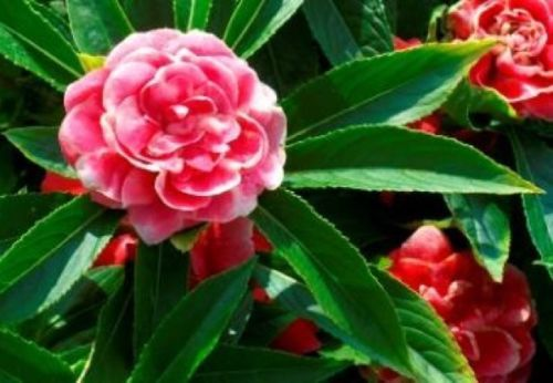 Primary image for SHIPPED From US,IMPATIENS BUSH FLOWER SEEDS 25 FRESH SEEDS IMPATIENCE-SPM