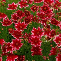 Rare Hardy Multi-color Jewel Ruby Frost Coreopsis Flower 20 Seeds / Pack... - $13.58
