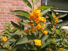 "Cestrum - Orange Zest - Live Plant - 4"" Perennial Pot - 1 Plant - $40.99"