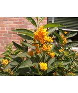 """Cestrum - Orange Zest - Live Plant - 4"""" Perennial Pot - 1 Plant - $40.99"""