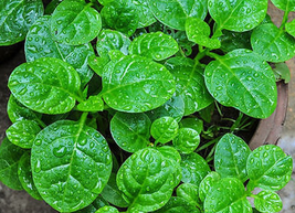 50pcs Very Tasty Edible Vegetable,Green Malabar Spinach Vegetable Seeds IMA1 - $13.99