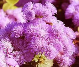 200 Ageratum Pink Flower Seeds Ageratum Mexicanum Pink - $10.88