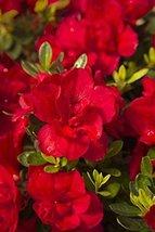 "1 Starter Plant of Autumn Bonfire Encore Azalea - Full 1 Gallon 7"" Pot - $83.10"