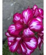 """IVY GERANIUM - Purple - LIVE PLANTS In 4"""" Pot - $9.45"""