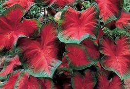 Caladium Blaze (6 Bulbs)Thrives in Heat and Humidity, Elephant Ears - $29.25