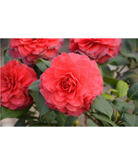 US Free Shipping Camellia Seeds, Flower Seeds, DIY Indoor/Outdoor Potted plants - $5.06