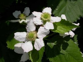 Rubus fruticosa Blackberry 'Sweetie Pie' thornless Live Plant #TkGrayGarden - $43.00