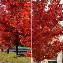 Home Garden Outdoor Living - Brandywine Maple qt. pot - $45.99