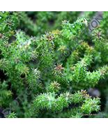SHIPPED From US_5 seeds EDITHCOLEA GRANDIS-huernia orbea succulent stape... - $58.99