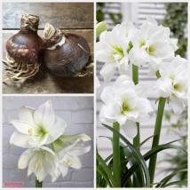 1 Large Bulbs White Amaryllis Christmas Gift Easy to Grow Size 30/36 #BX1 - $23.90